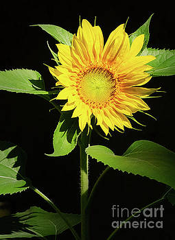 Sunflower 2 by Mellissa Ray