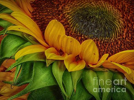 Sunflower by Judy Hall-Folde