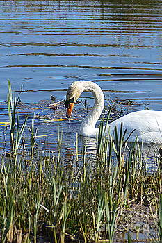 Swan by Andy Thompson
