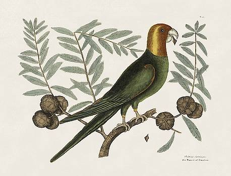 The Parrot of Carolina and the Cypress of America  The   by Mark Catesby