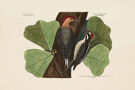 The Red bellied Wood pecker  TheHairy Wood  by Mark Catesby