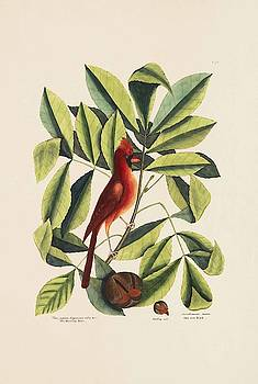 The Red Bird  The Hiccory Tree  The Pignut  The Natural History   by Mark Catesby