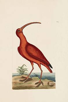 The Red Curlew  The Natural History of Carolina  Florida  and the Bahama Islands  by Mark Catesby
