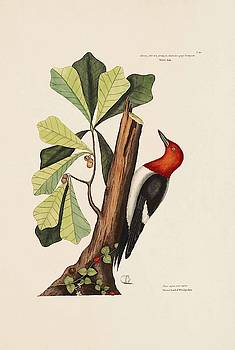 The Red headed Wood pecker  The Water Oak  The Natural History o  by Mark Catesby