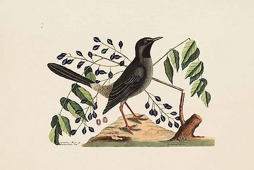 The Red leg d Thrush  The Gum Elimy Tree  The Natural History of   by Mark Catesby