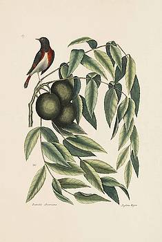 The Red start  The Black Walnut  The Natural History of Carolina  Florida   by Mark Catesby