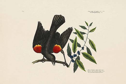The Red Wing d Starling  the Broad leaved Can  by Mark Catesby