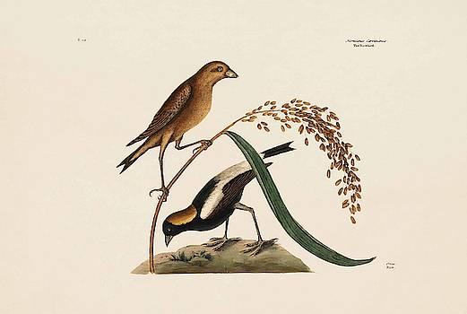 The Rice Bird  Rice  The Natural History of Carolina  Florida  and the Bahama Islands  by Mark Catesby