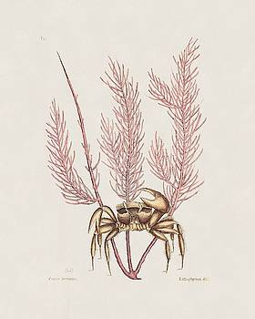The Sand Crab  The Natural History of Carolina  Florida  and the Bahama Islands  by Mark Catesby