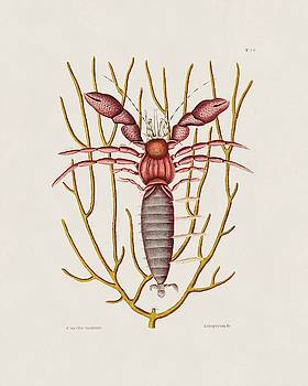 The Sea Hermit Crab  The Natural History of Carolina  Florida  and the Bahama Islands  by Mark Catesby