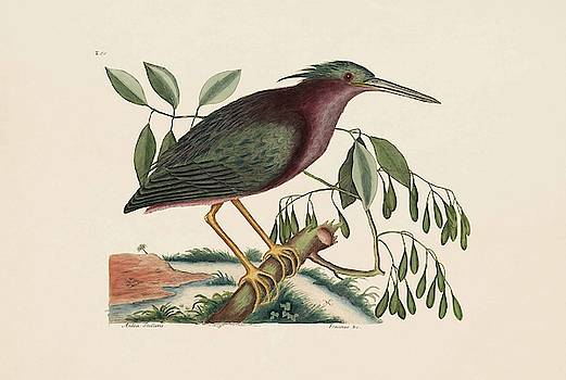 The Small Bittern  The Natural History of Carolina  Florida  and the Bahama Islands  by Mark Catesby