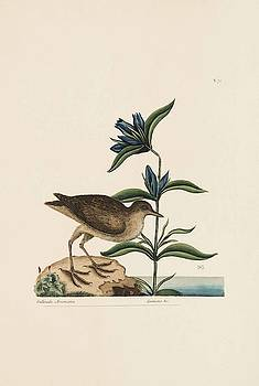 The Soree  The Natural History of Carolina  Florida  and the Bahama Islands  by Mark Catesby
