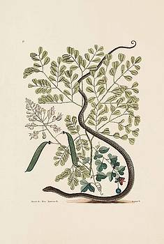 The Spotted Ribbon Snake  Brasiletto  Passion flower    by Mark Catesby