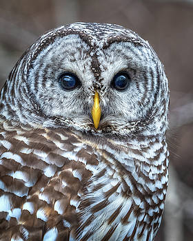Barred Owl by Brad Bellisle