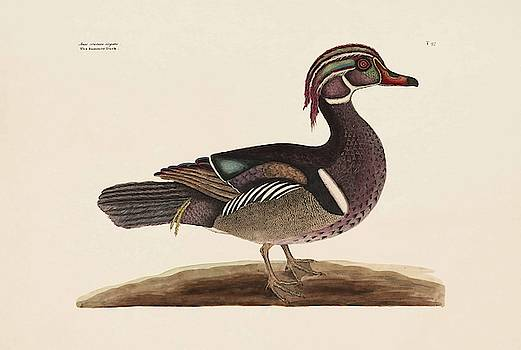 The Summer Duck  The Natural History of Carolina  Florida  and the Bahama Islands  by Mark Catesby