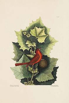 The Summer Red Bird  The Western Plane Tree  The Natural Histo  by Mark Catesby