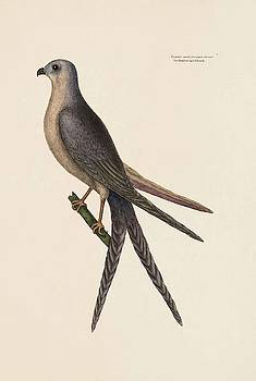 The Swallow Tail Hawk  The Natural History of Carolina  Florida  and the Bahama Isl  by Mark Catesby