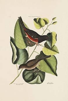 The Towhe Bird  The Cowpen Bird  The Black Po  by Mark Catesby