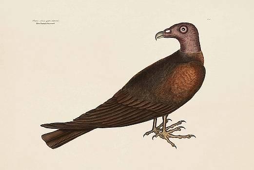 The Turkey Buzzard  The Natural History of Carolina  Florida  and the Bahama Islands  by Mark Catesby