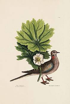 The Turtle of Carolina  The May Apple  The Natural History of Caroli  by Mark Catesby