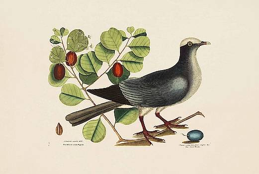 The White crown d Pigeon  The Cocoa Plum  The Natural History of   by Mark Catesby