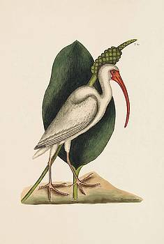 The White Curlew  The Natural History of Carolina  Florida  and the Bahama Islands  by Mark Catesby