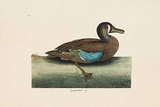 The White Face Teal  The Natural History of Carolina  Florida  and the Bahama Islands  by Mark Catesby