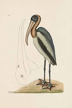 The Wood Pelican  The Natural History of Carolina  Florida  and the Bahama Islands  by Mark Catesby