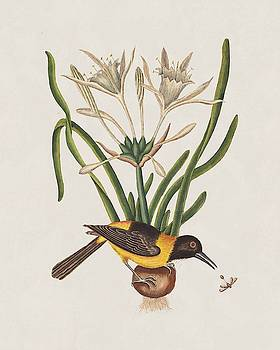 The Yellow and Black Pye and Lilio Narcissus Poli  by Mark Catesby