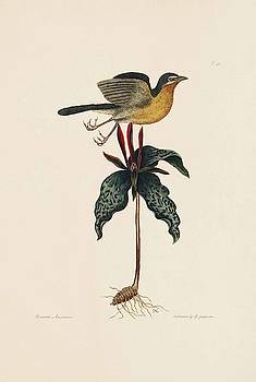 The Yellow Breasted Chat  The Natural History of Carolina  Florida  and the Baha  by Mark Catesby