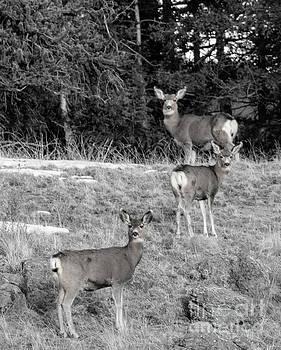Trio of Deer in the Wilderness by Steve Krull