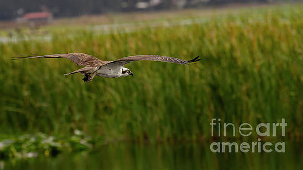 Western Osprey by Blair Howell