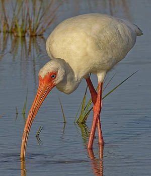 White Ibis in Grass by Jerry Fornarotto