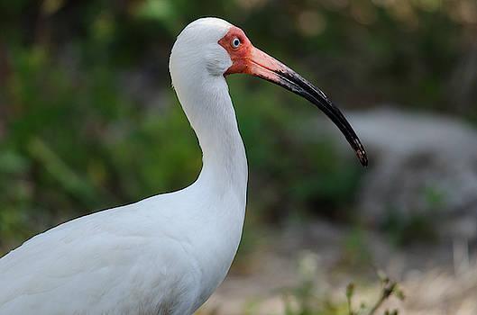 White Ibis by James Petersen
