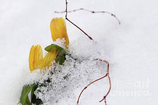 Winter aconite flowering in the snow by Michal Boubin