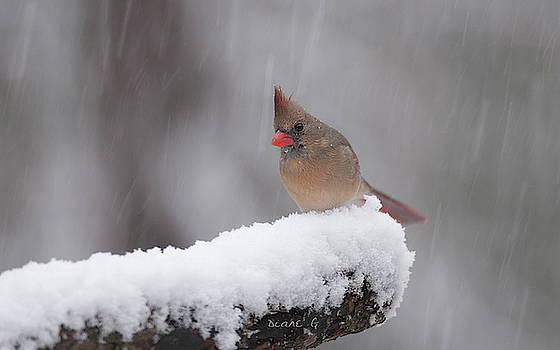 Winter Female Cardinal by Diane Giurco