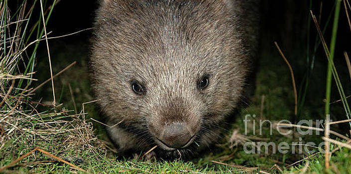 Wombat at night by Rob D
