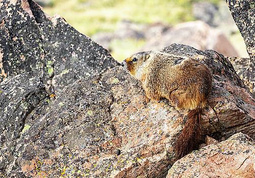 Yellow Bellied Marmot by Michael Chatt