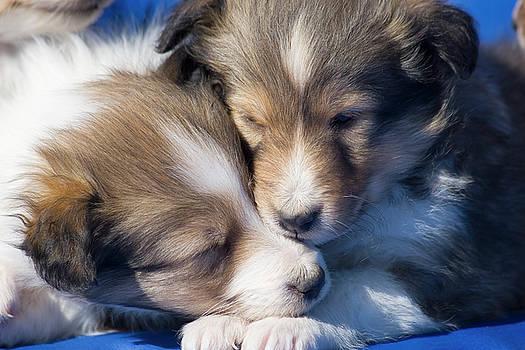 Shetland Sheepdog Puppies by Zandria Muench Beraldo