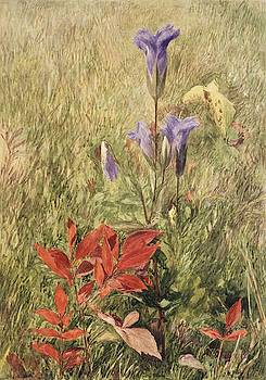 Fringed Gentians by John Henry