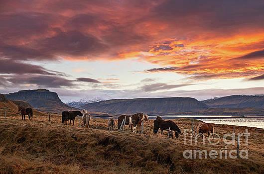 Wild Icelandic Horses by Jamie Pham