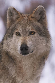 Wolf by Brian Cross