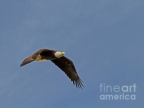 Bald Eagle by Blair Howell