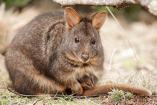 Australian bush wallaby outside during the day. by Rob D