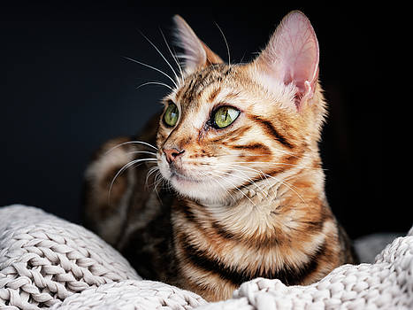 Bengal Cat Portrait by Nailia Schwarz