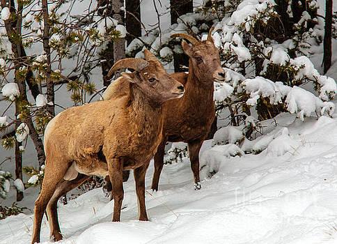Steve Krull - Bighorn Sheep in Deep Snow