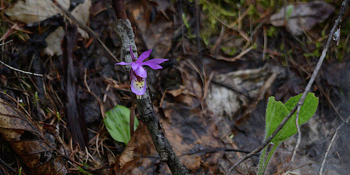 Whispering Peaks Photography - Calypso Orchid 2