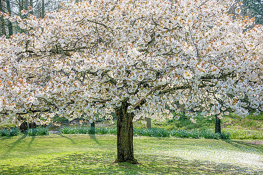 Cherry Blossom Tree by Svetlana Sewell