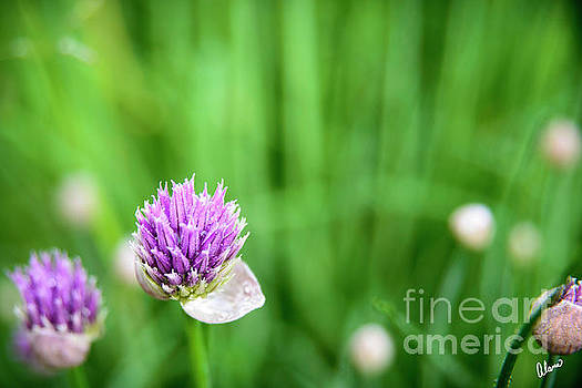 Chives by Alana Ranney