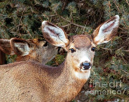Steve Krull - Colorado High Country Deer